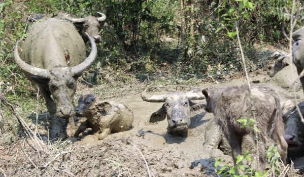 Büffel überall